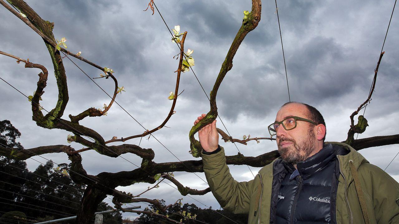 Miguel Tubio, enólogo de Martín Códax en Cambados, señala que las lluvias están provocando que la floración de los viñedos de albariño lleve un retraso de tres semanas