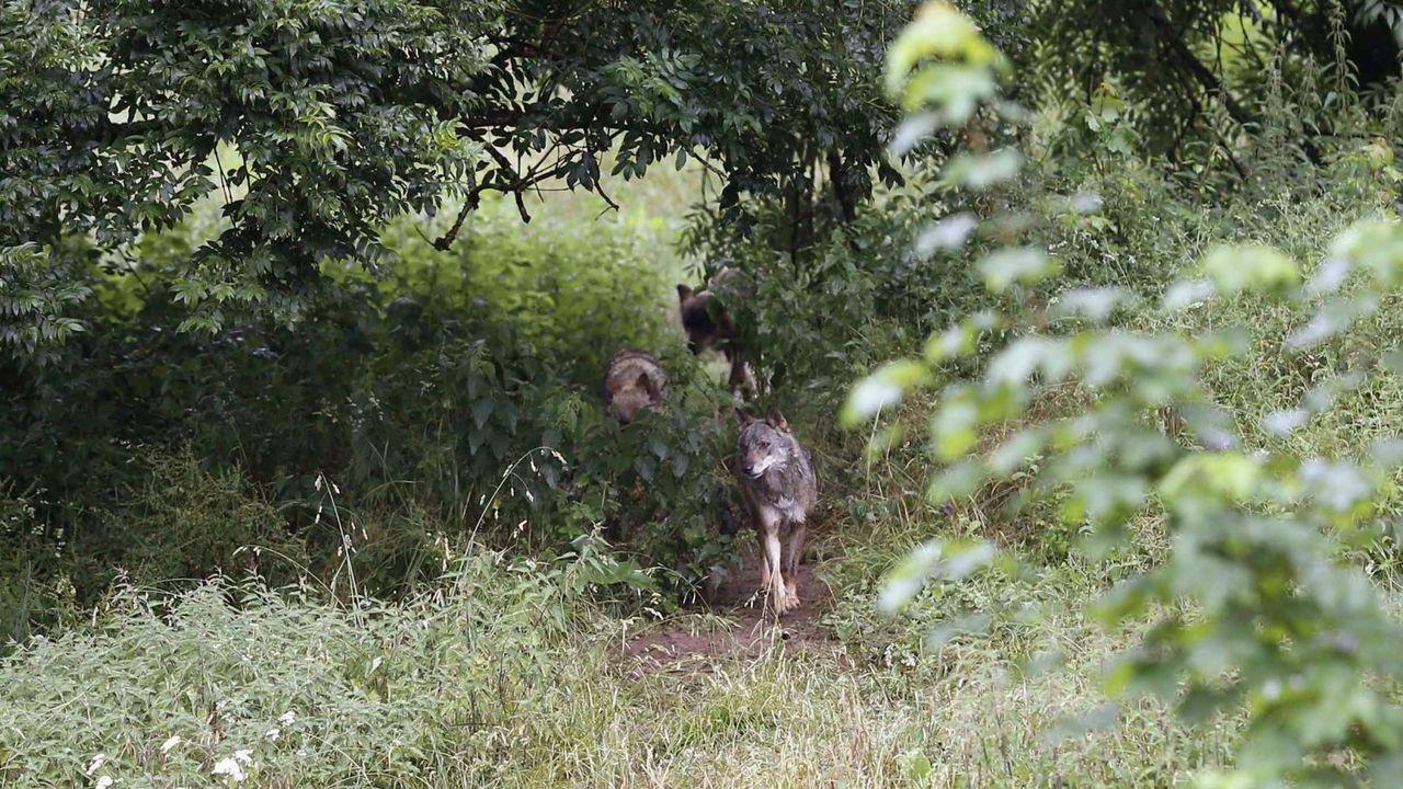 Grupo Lobo Galicia y Proxecto Rebinxe participan en la elaboración del censo nacional de lobo ibérico