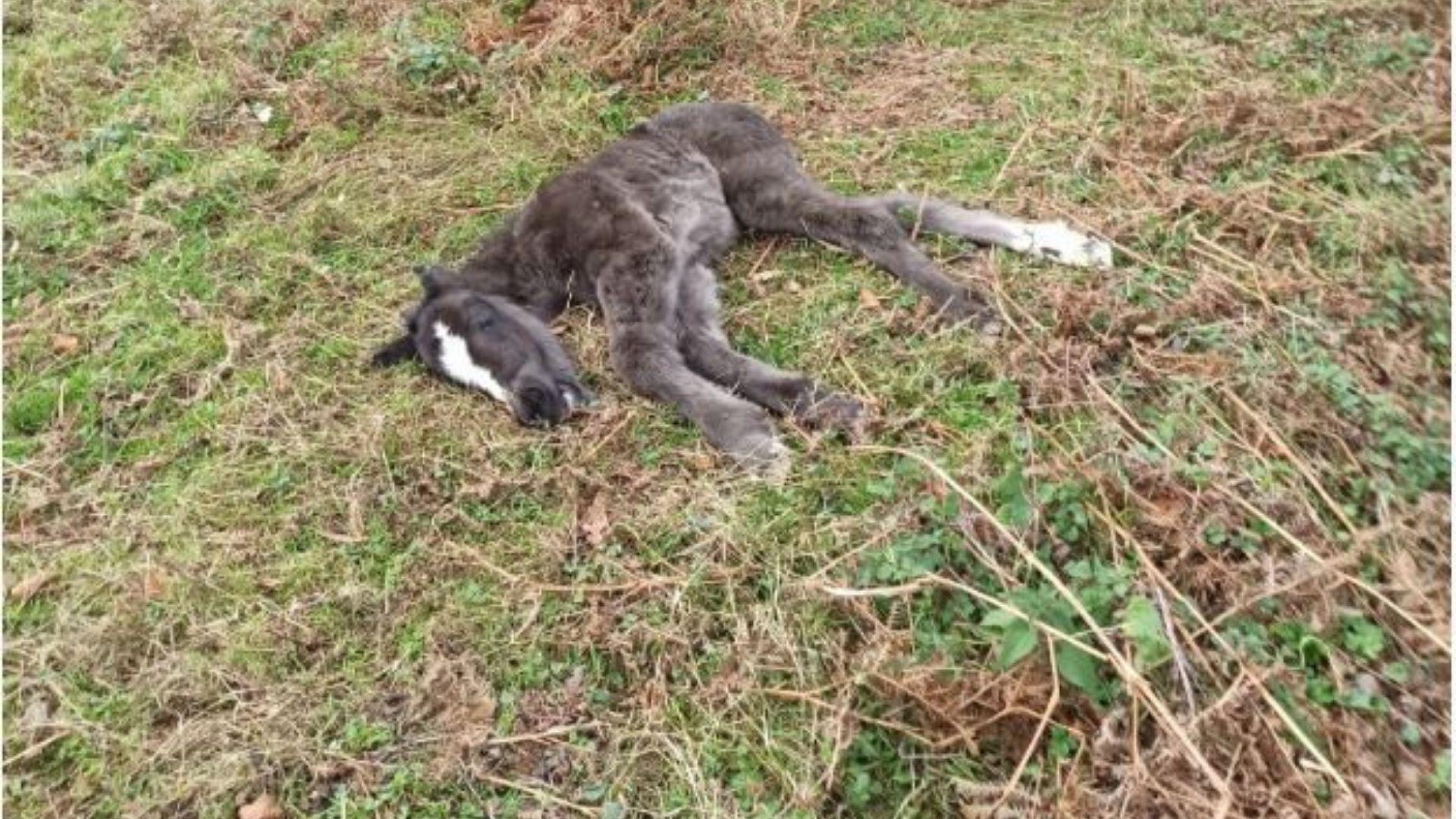 La manada perdida del occidente de Asturias.Una potra muerta por causas naturales