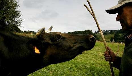 De las 38.823 vacas lecheras de Pontevedra, fuera de Deza y Tabeirós solo hay 302 ejemplares.
