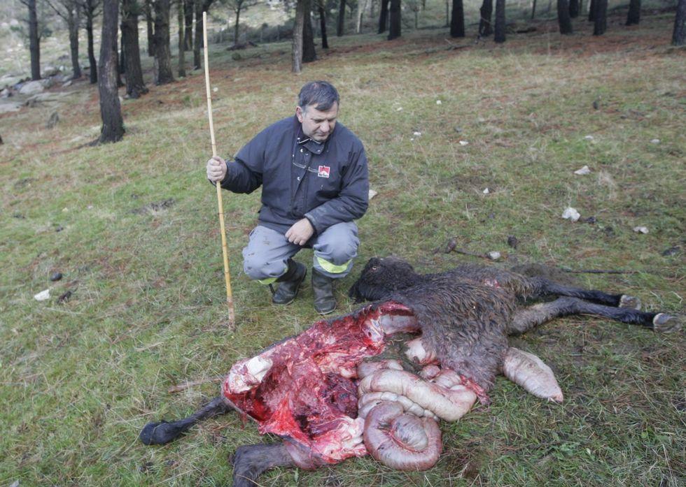 Imagen de un reciente ataque de lobos, en este caso en el monte San Roque, en Viveiro.