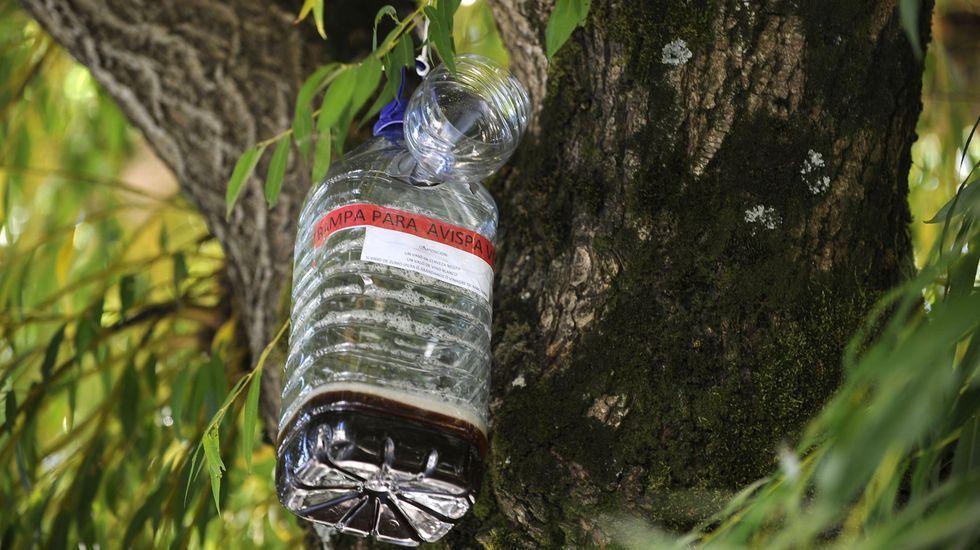 Un enjambre de velutinas se da un festín en un eucalipto recién talado en Zas.Retirada de un nido de avispa asiática en Oviedo