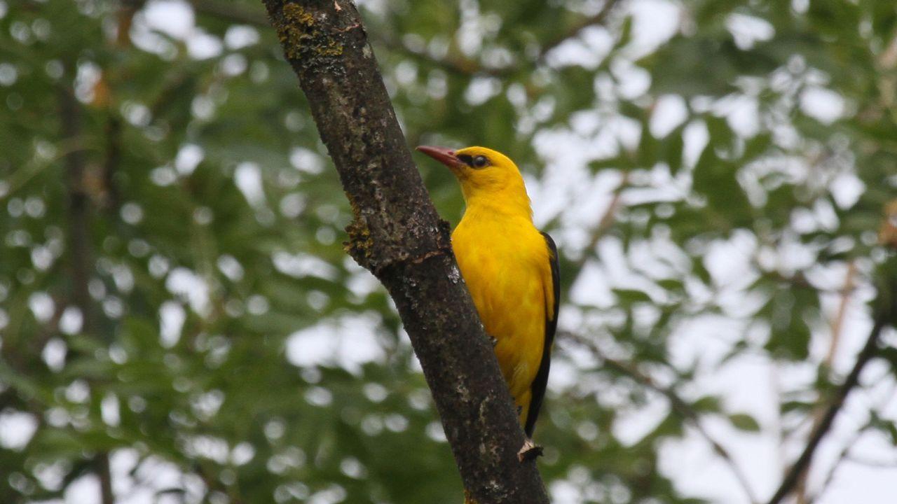 La oropéndola, que no es un ave acuática, frecuenta el bosque de galería que bordea el río