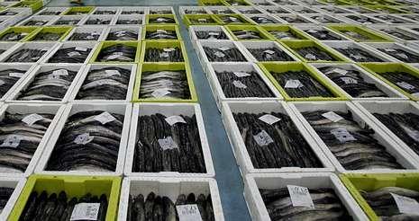 La merluza será una de las especies objetivo del estudio Parasite, pionero en Europa que se coordina desde Vigo.