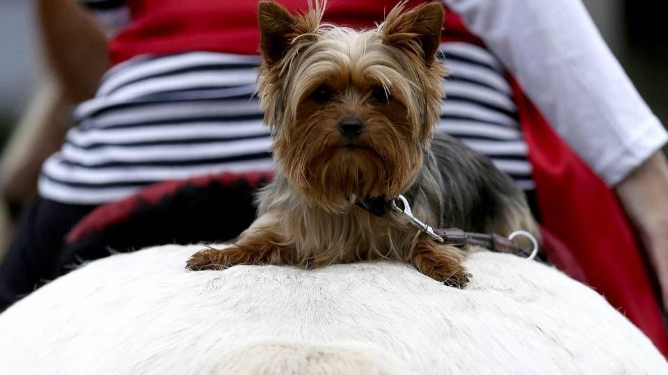 Stone, el perro que resurgió de las piedras.Un perro de la raza yorkshire