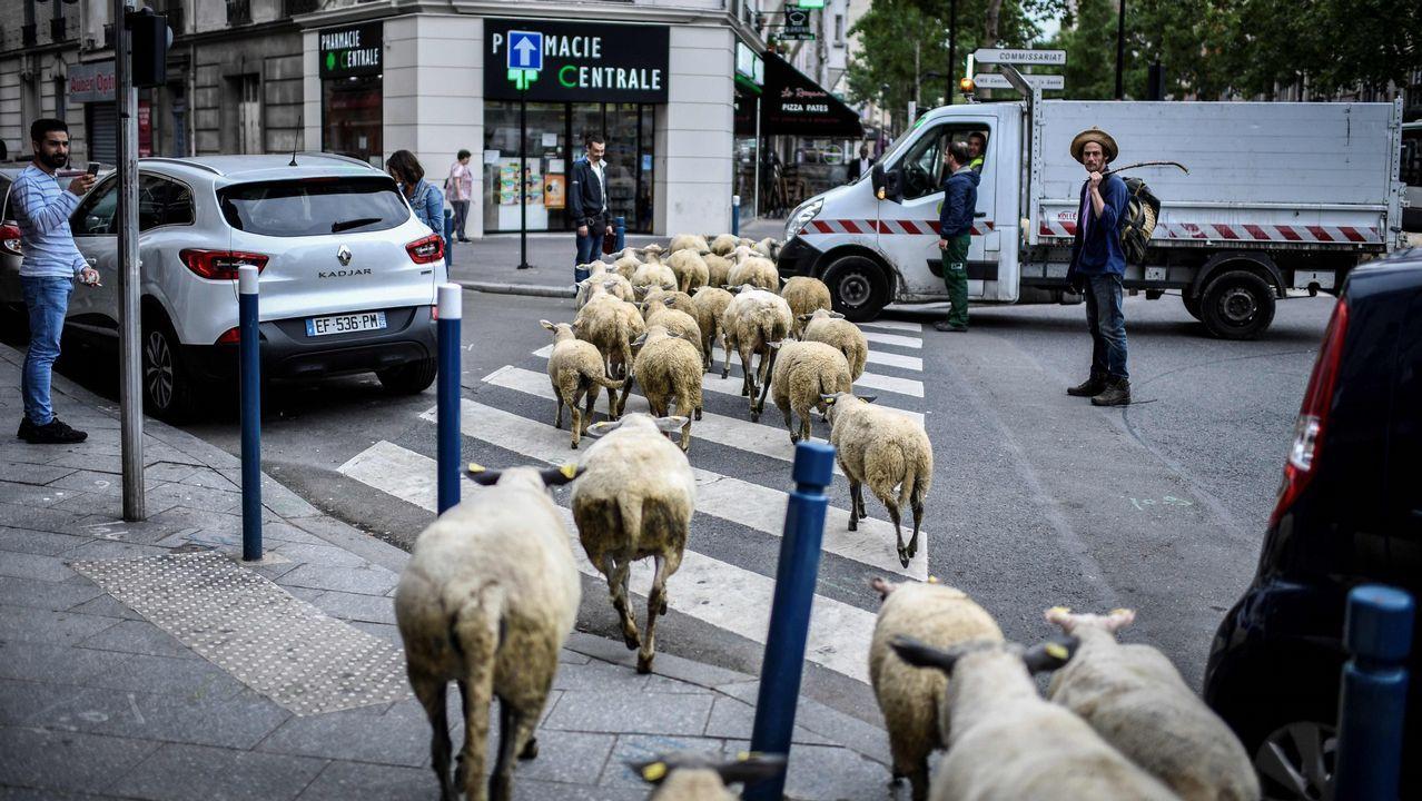 Un granjero cruza un paso de peatones con sus ovejas en Aubervilliers, al norte de París