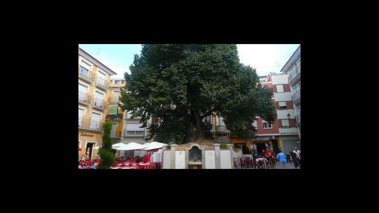 Olmo de Navajas. Castellón. Tiene 19 metros de altura y una edad de 382 años. Fue plantaado por Roque Pastor en el año 1636 y es uno de los mayores orgullos del pueblo