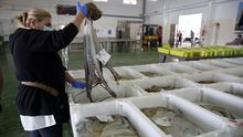 Foto de archivo de una subasta en Cambados de pulpo genuinamente gallego, que se esfumó durante esta campaña, la peor del siglo