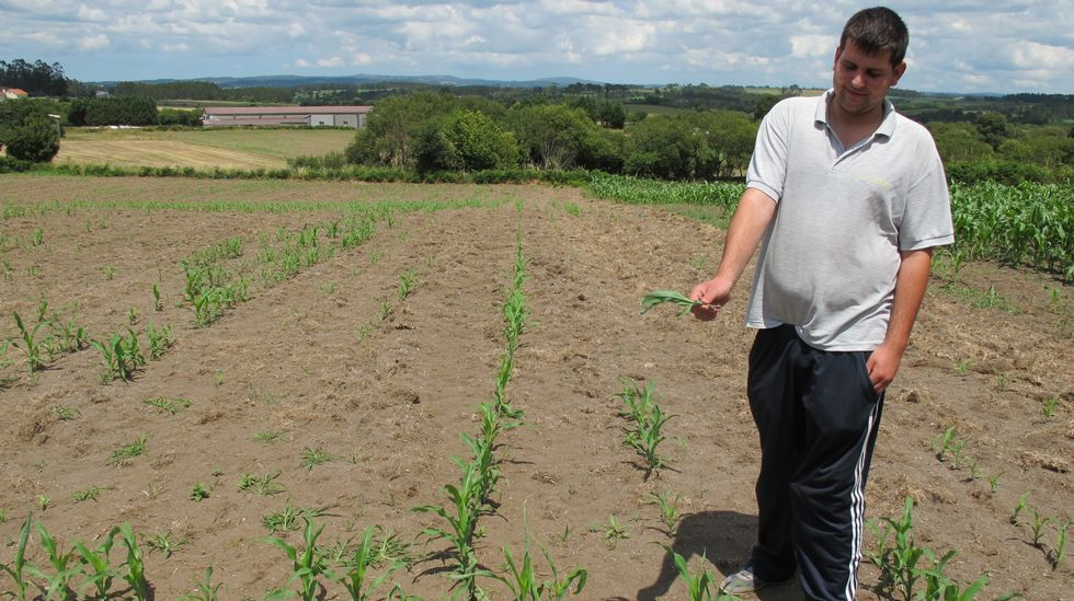 MAZARICOS. Otero Esperante también se queja de que la falta de lluvias ha provocado un funcionamiento anormal de los herbicidas y por tanto propiciado la aparición de malas hierbas que han retrasado el crecimiento de las plantas del maíz.