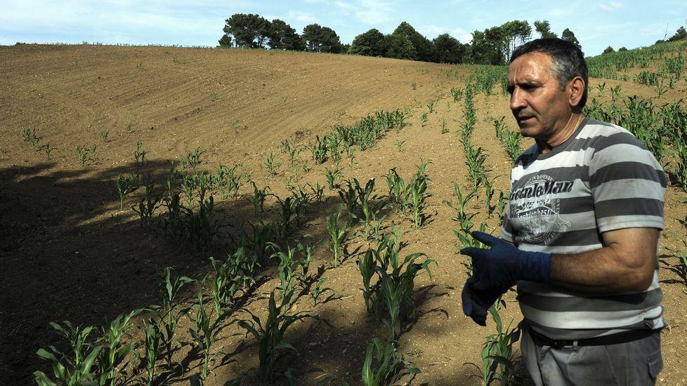 LALÍN. Gonzalo Castro y su mujer Lourdes Saa regentan una explotación de vacuno en Palmou. Son cincuenta vacas que se alimentaban en gran parte todo el año a costa de la producción de maíz que recolectaban en varias fincas. Ahora se plantean cerrar