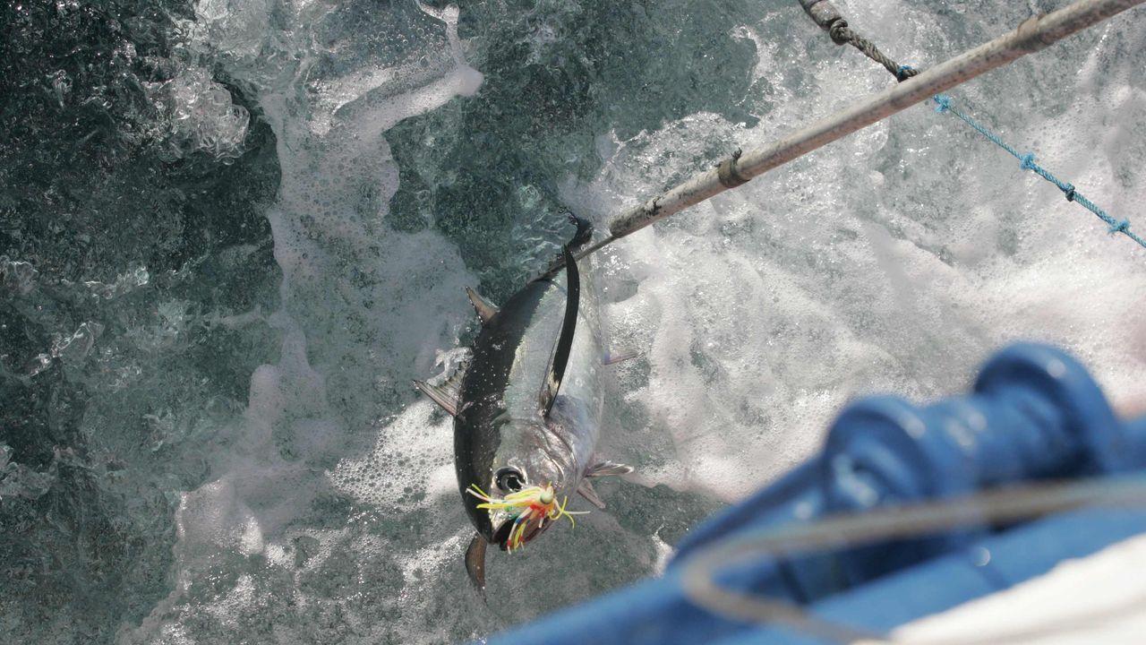 Aunque los primeros bonitos se vendan en Avilés, la lonja de Burela es referente en la costera de ese pescado azul de temporada