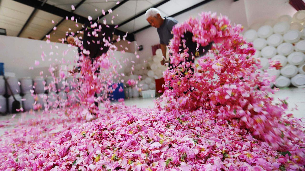Agricultores secan pétalos de rosa en Haian, en la provincia china de Jiangsu