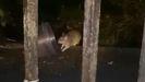 La batalla de ratas y gatos en La Vega