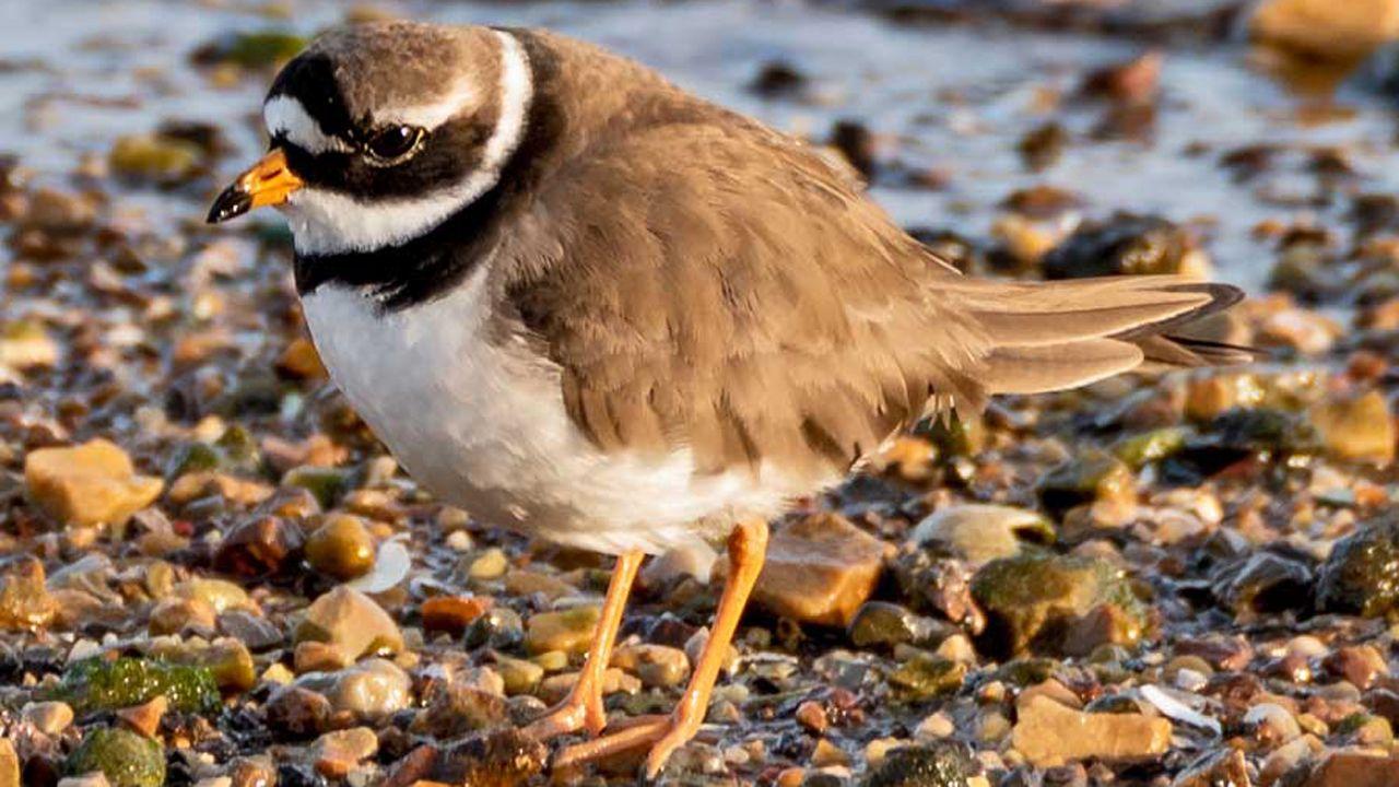 Miles de aves migratorias visitaron la ría de Avilés este lunes