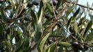 Olivos con aceitunas en una plantación de Anguieiros, en Quiroga