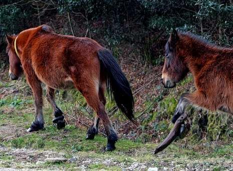 El agente ha liberado de la tortura de las «pexas» a numerosos caballos en el monte Xiabre.