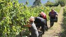 La producción de uva en Negueira de Muñiz fue creciendo en los últimos años