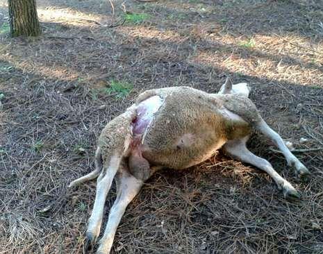 El ataque del lobo se produjo a plena luz del día y cerca de casas.