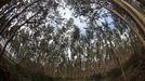 Imagen de archivo de eucaliptos en un monte del sur de Galicia.