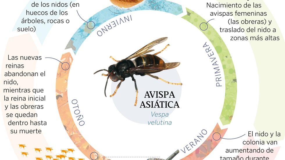 El ciclo anual de la avispa asiática
