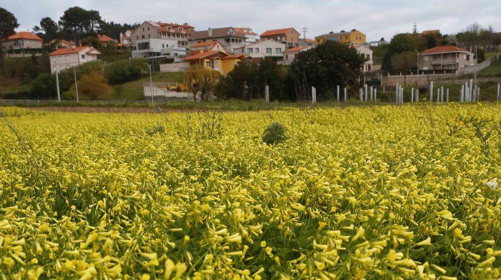 Campo con flores, en Noalla, Sanxenxo