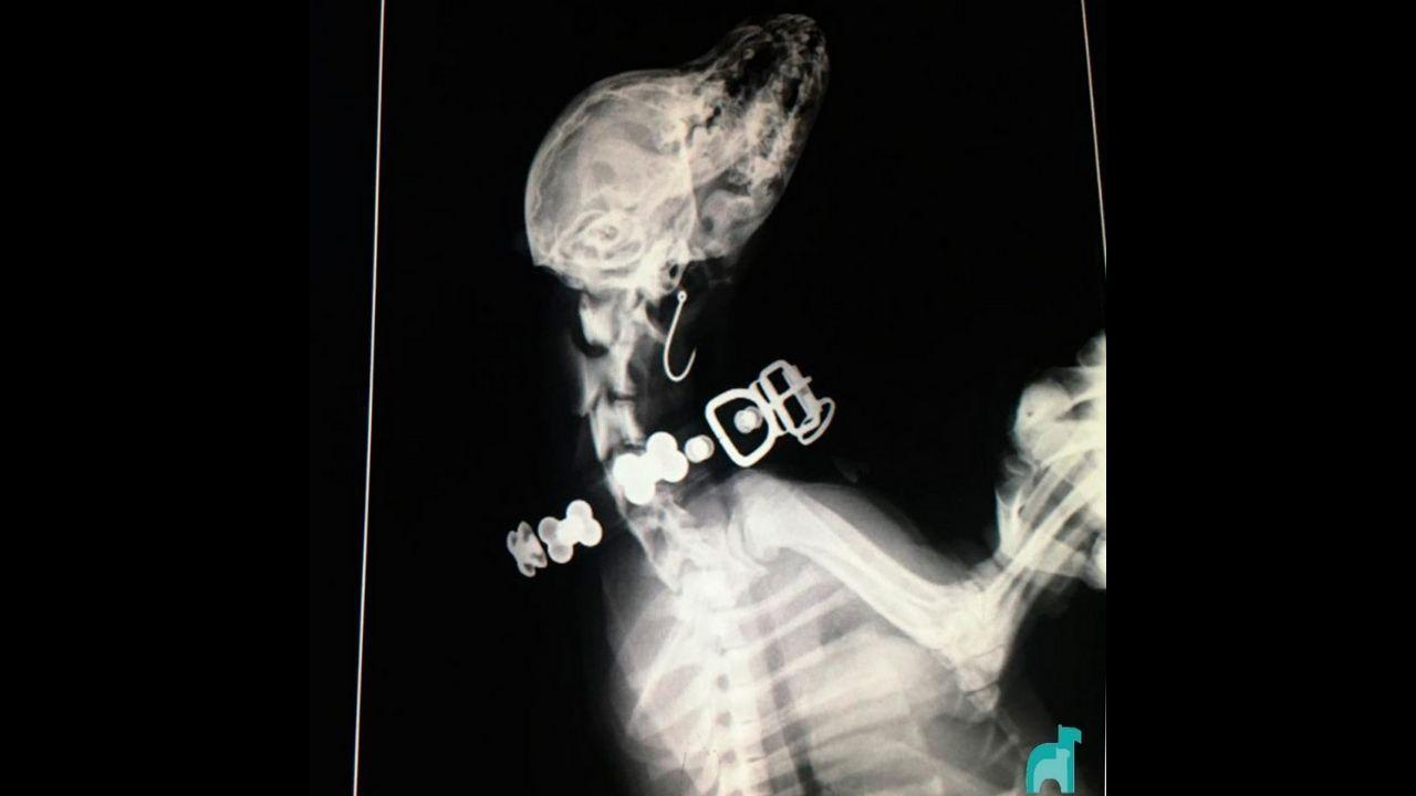 Radiografía de la perra que se tragó un anzuelo