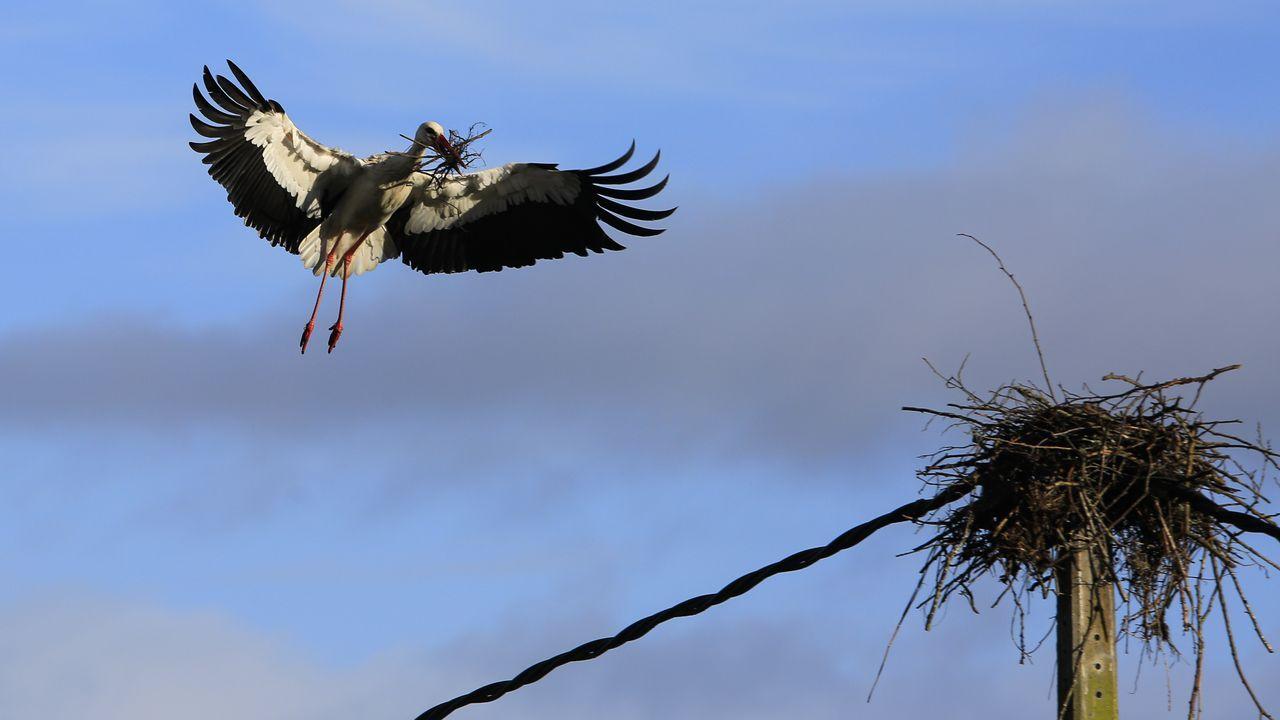 Decenas de parejas de cigüeñas anidan a ambos lados de la carretera LU-546 entre Sarria y Láncara