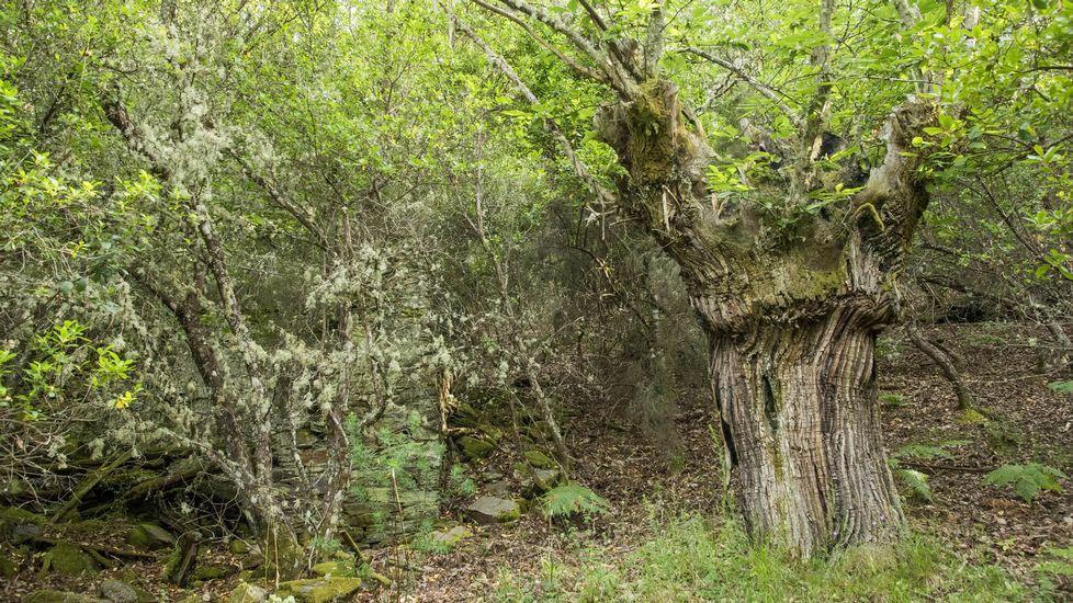Un castaño centenario en el souto abandonado de Lentellais