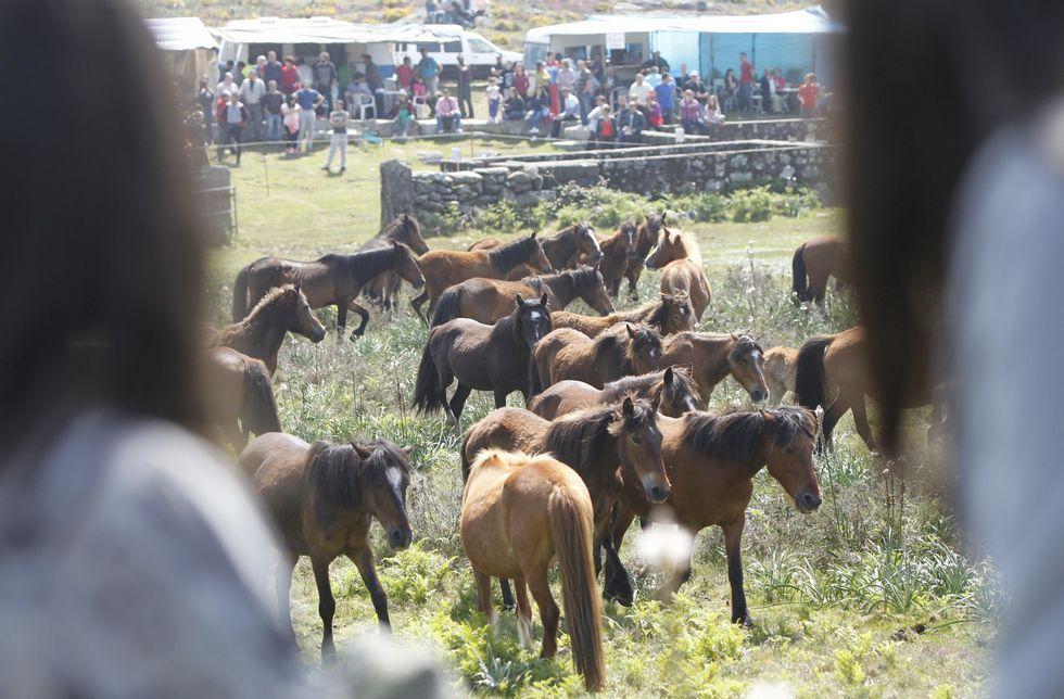 La «rapa das bestas» de A Valga inauguró la temporada de curros en Galicia el domingo.