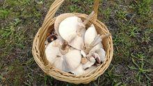Las setas se deben recoger en cestas, nunca en bolsas, y sin dañar el micelio que está en el sustrato