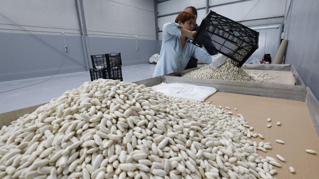 Recogida de la aceituna en el municipio de Quiroga.Productores de Faba Verdina, en sus instalaciones en Mondoñedo
