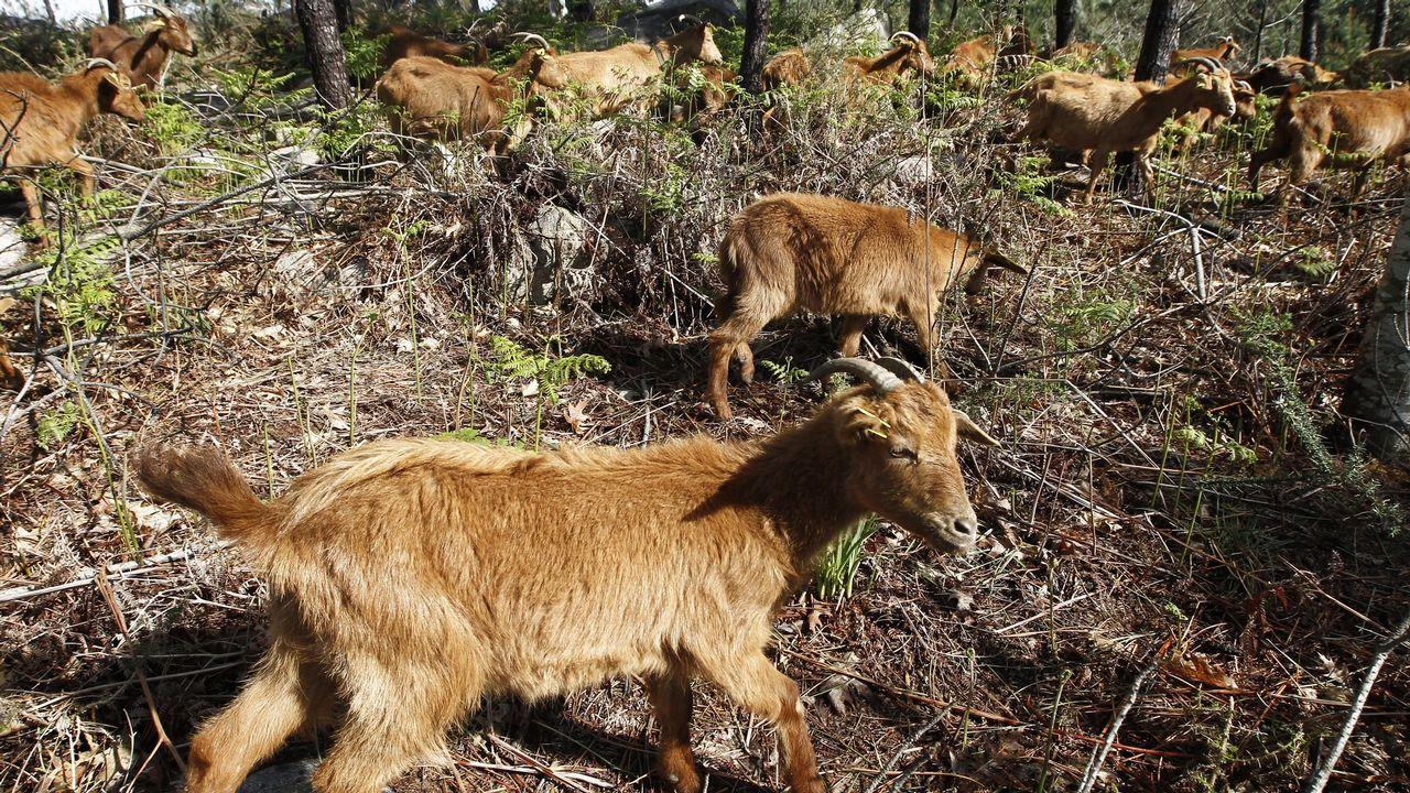 El crotal de una vaca