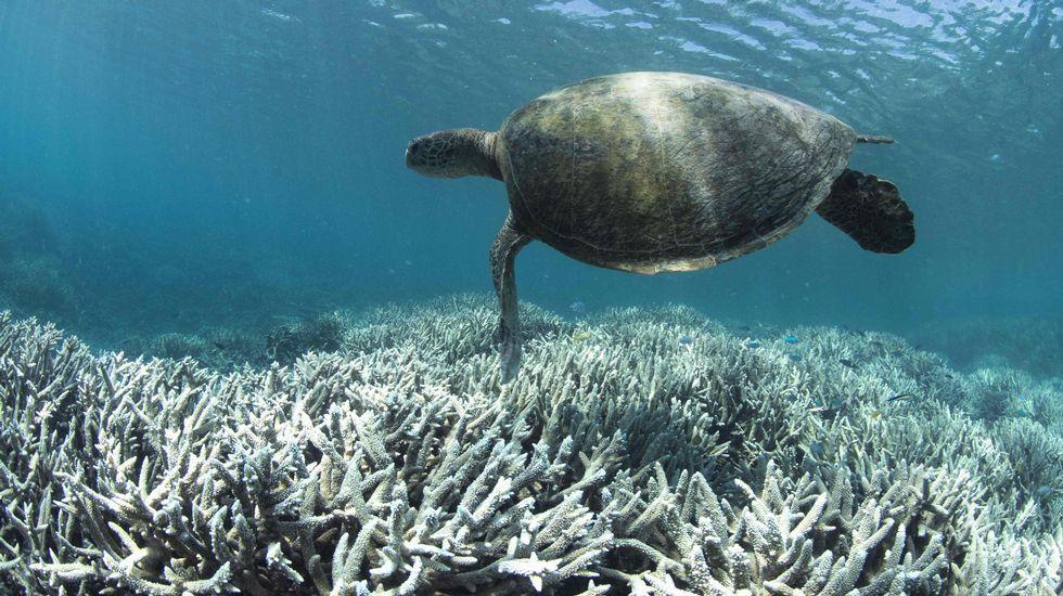 Una tortuga, sobre la Gran Barrera de Coral