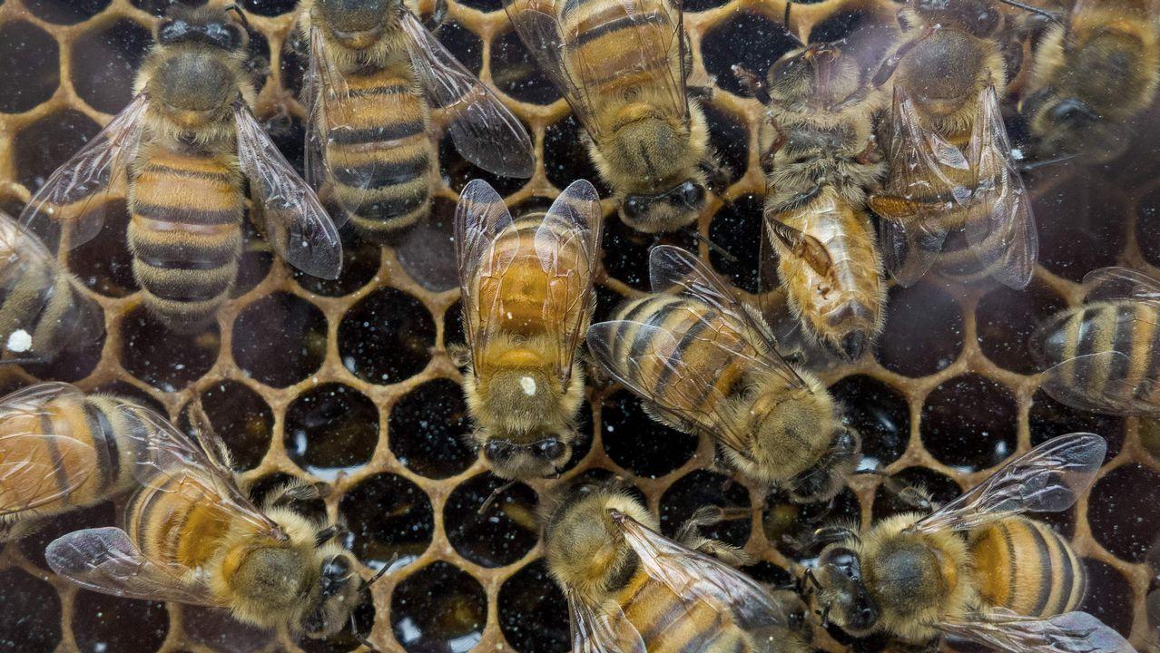 Vaca asturiana.Colmena de abejas en mercado de agricultores