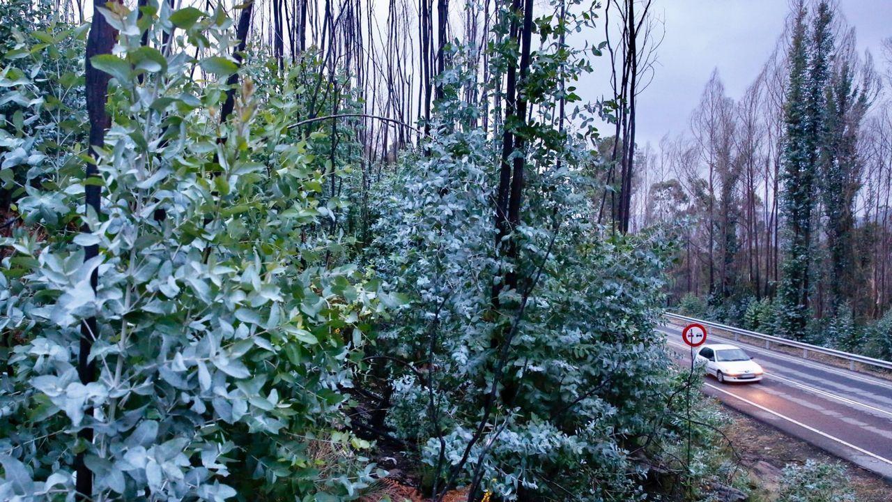 Crecida del río Tambre en Pontemaceira.Rebrote de eucaliptos tras un incendio en Ponte Caldelas
