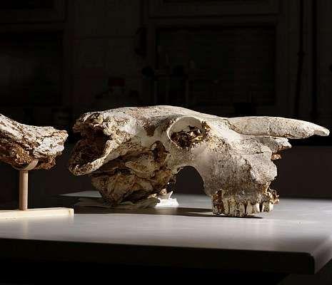 El cráneo fue hallado en una cueva de Asturias.