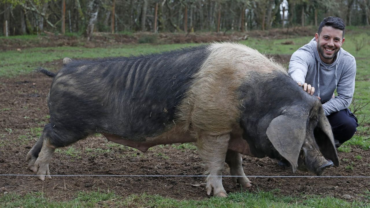 El verraco Cesáreo viajará a Asturias