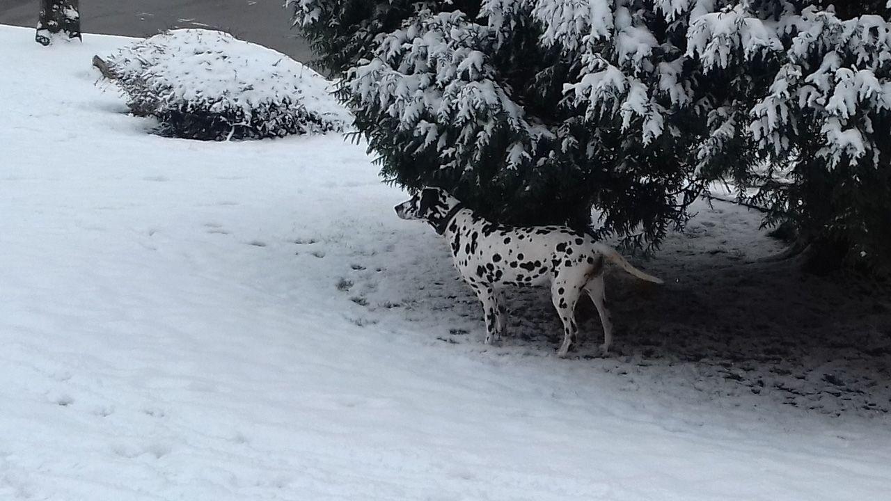 Nieve en Oviedo.Un perro dálmata en la nieve en Oviedo