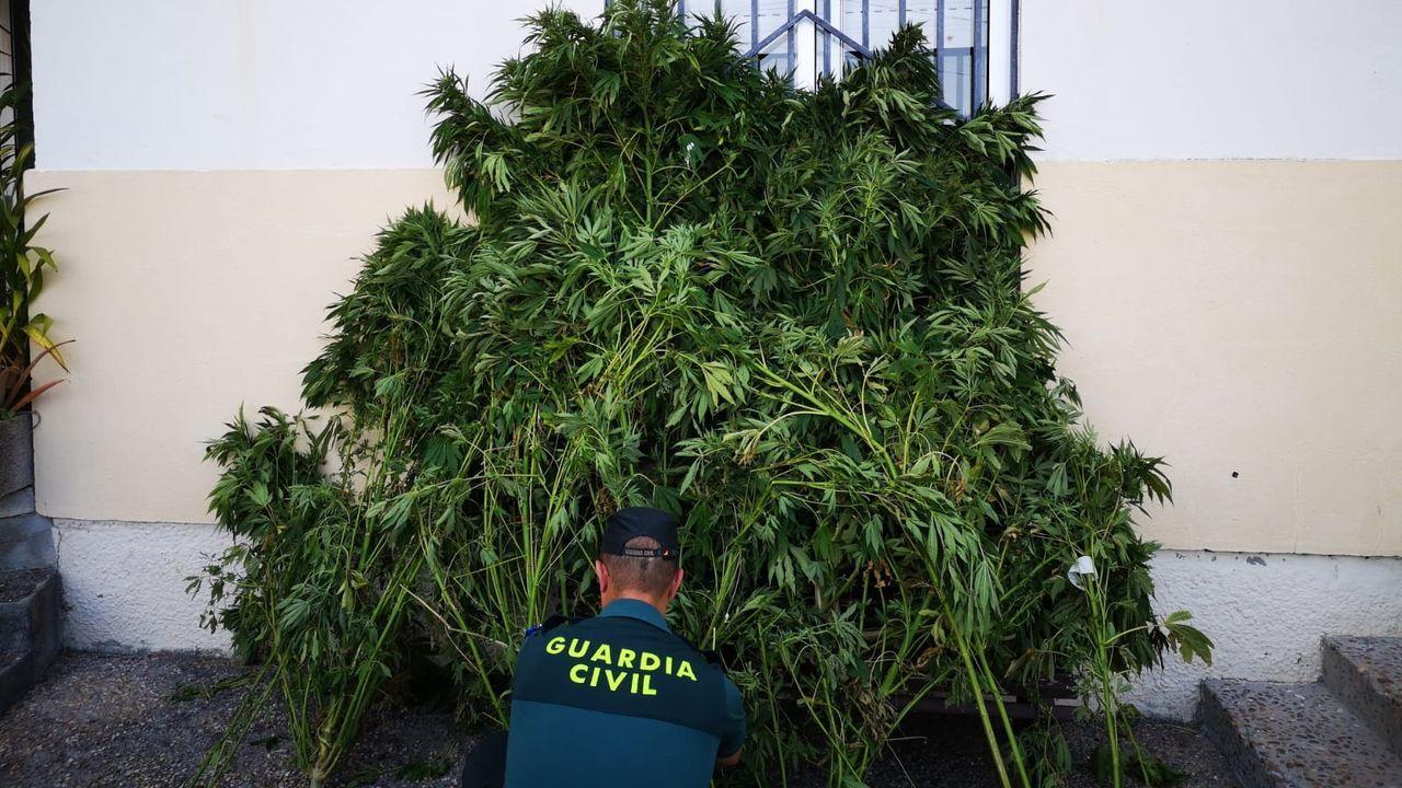 Plantación de marihuana en una chabola de Xinzo.La carretera de Mudarri  en Xixún