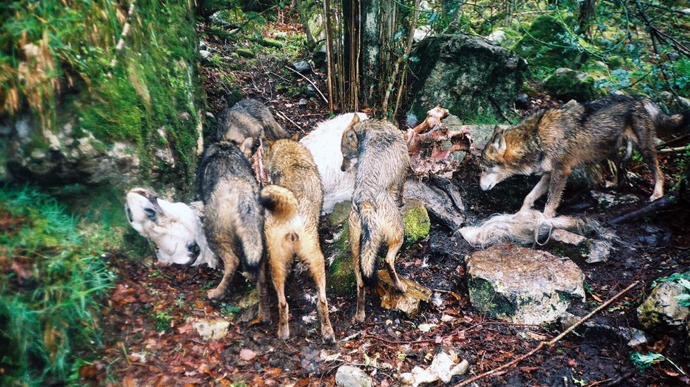Una manada de lobos come de una carroña..Una manada de lobos come de una carroña.