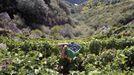 Vendimia, a finales del pasado mes de septiembre, en viñedos de la ribera de Doade