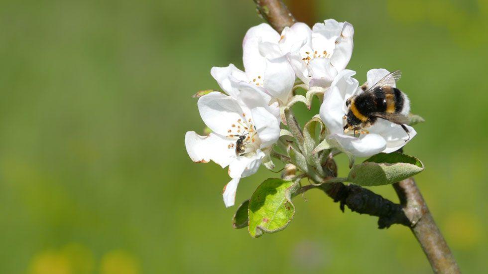 Insectos y aves desempeñan un papel fundamental en el cultivo del manzano de sidra