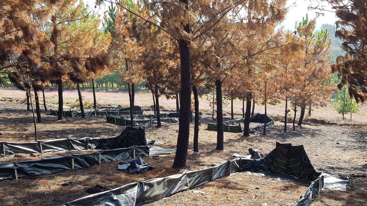 Daños causados por el goníptero en un monte de Pontevedra, en una imagen de archivo