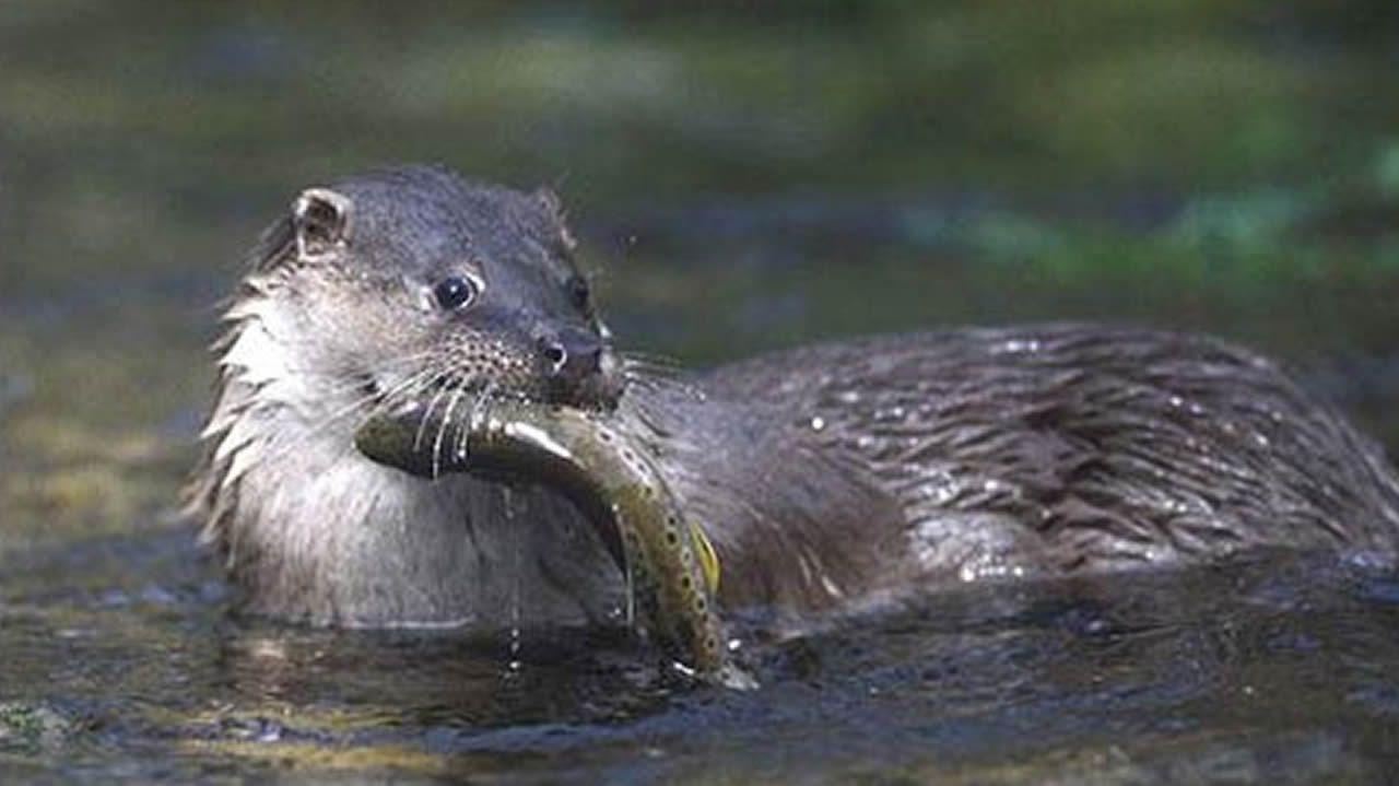 Nutria: Son más propias de agua dulce, pero se encontraron dos en el mar.
