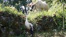 El ave herida apareció en un prado de la localidad de Outeiro, en la parroquia de San Salvador de Asma