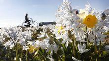Varias flores comienzan a abrir sus pétalos durante la primavera