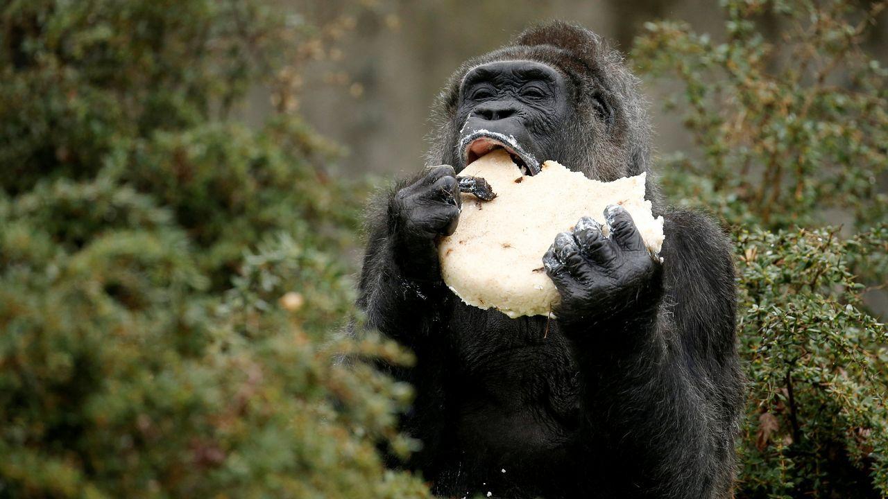 El gorila Fatou come una tarta de cumpleaños en el zoo de Berlín