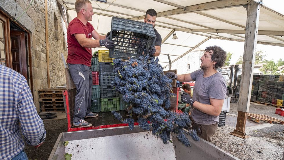 Descarga de uva, la pasada vendimia, en la bodega Rectoral de Amandi
