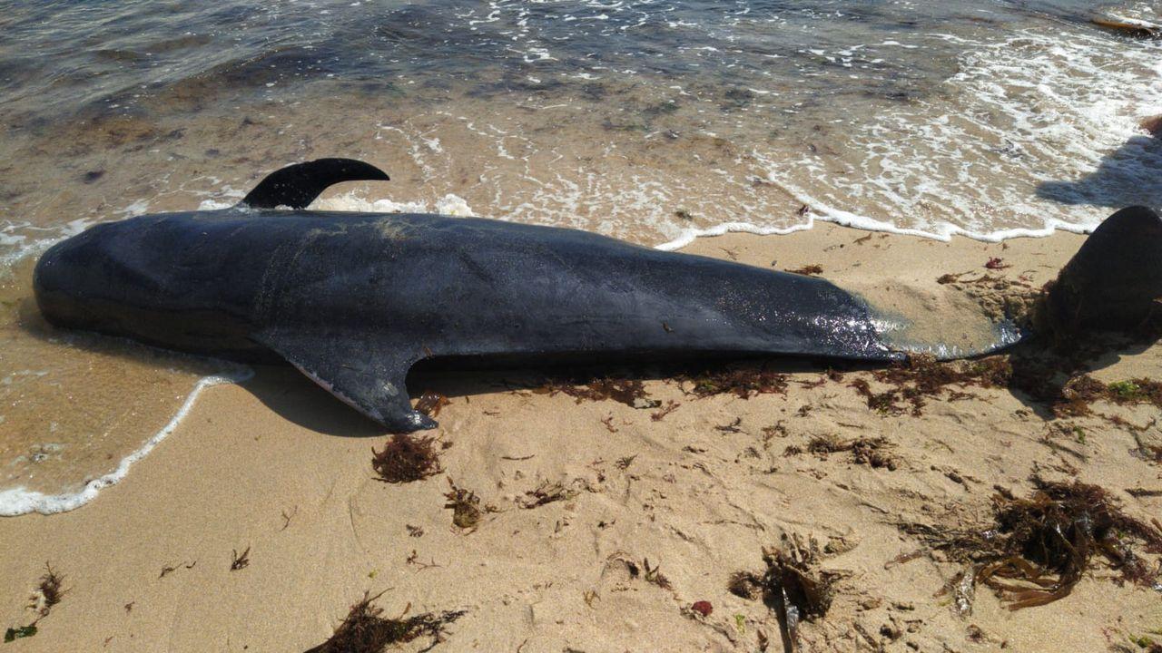 A pesar de que intentaron devolverlos al mar, los dos calderones acabaron muriendo.Oswaldo Digón actuará esta tarde en Portomarín