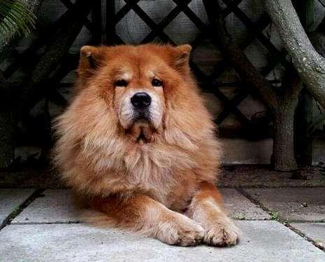 La chow chow «Selva» falleció el 11 de julio